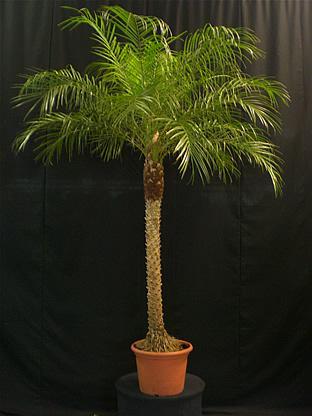 02.010 - Phoenix Roebelenii palm ca. 200/225 cm