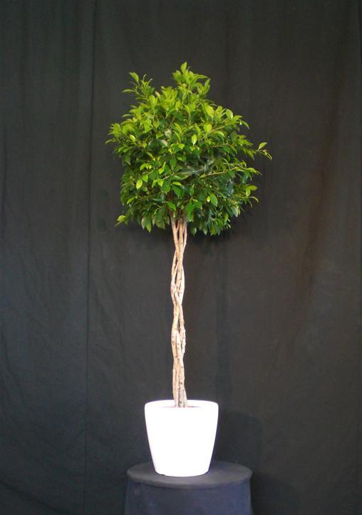 03.001 - Ficus bol ca. 175 cm