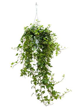 11.002 Hedera groen (hangplant)