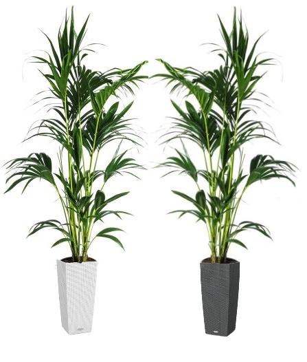 01.003 - Kentia palm ca. 230 cm in sierpot (Uitsluitend binnengebruik!)