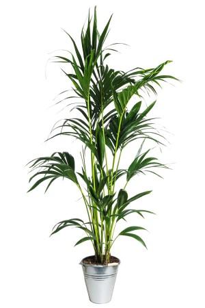 01.001 - Kentia palm ca. 200 cm standaard (Uitsluitend binnengebruik!)