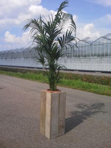 01.005 - Kentia palm in steigerhouten zuil totaal ca. 300 cm (Uitsluitend binnengebruik!)