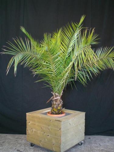 02.005 - Phoenix Canariënsis palm Event klein (ca. 220 cm)