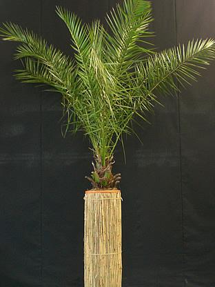 02.007 - Phoenix Canariënsis palm in rieten zuil (totaal ca. 260 cm)