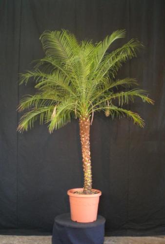 02.009 - Phoenix Roebelenii palm ca. 170/190 cm