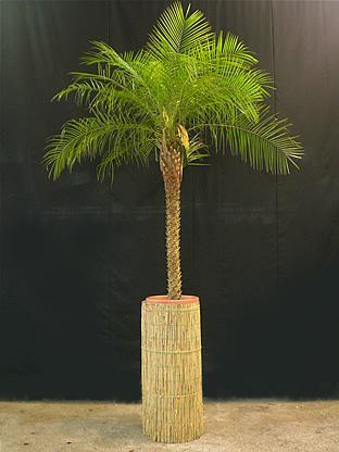 02.014 - Phoenix Roebelenii palm in rieten zuil (totaal ca. 275 cm)