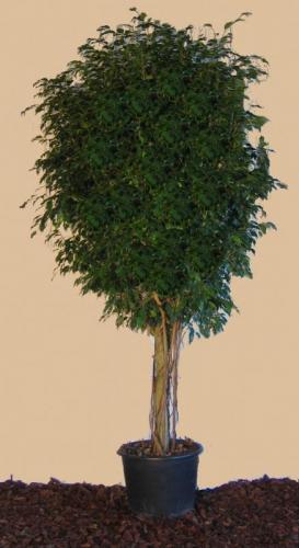03.002 - Ficus bol ca. 270 cm