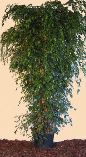 03.004 - Ficus groen ca. 270 cm