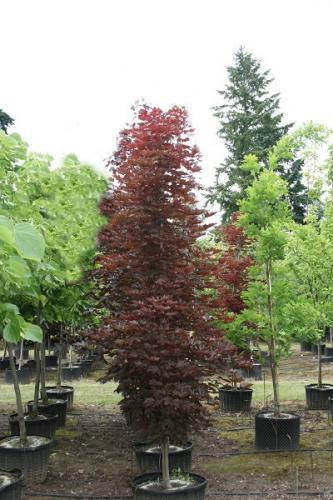 06.005 Acer in zuilvorm ca. 450 cm